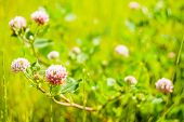 foto of red clover  - Red clover flower on summer green meadow - JPG