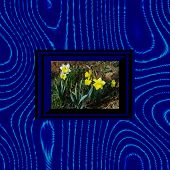 pic of convection  - White and yellow flowering narcissus in blue black stylized op art frame on blue wavy background - JPG