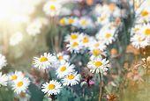 pic of daisy flower  - Daisy flowers  - JPG