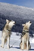 stock photo of siberian husky  - Two Siberian husky dog on winter background - JPG