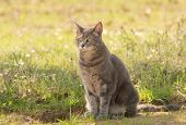picture of blue tabby  - Blue tabby cat in shade in spring - JPG