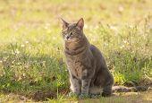image of blue tabby  - Blue tabby cat in shade in spring - JPG