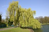 foto of ponds  - Under the weeping willow tree near the pond and by clear blue sky - JPG