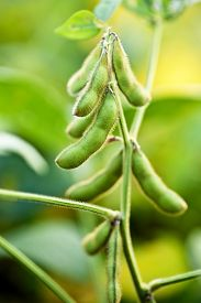 image of soybeans  - Vertical shot of a soybean plant in soybean field - JPG
