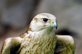 pic of falcons  - saker falcon portrait  - JPG