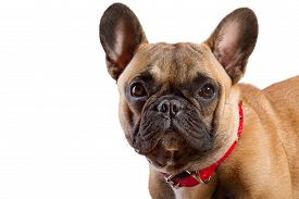 picture of saddening  - Brown French Bulldog isolated on white background - JPG