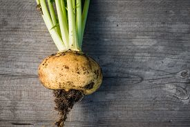 picture of turnip greens  - Unwashed yellow turnips freshly harvested from a garden - JPG