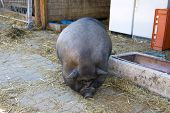pic of pot bellied pig  - Pot - JPG