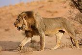 Male lion walking on sand dune; panthera leo; Kalahari desert; South Africa