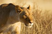 picture of semi-arid  - Lion - JPG