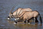 Two Gemsbok antelopes standing in a waterhole to drink; Etosha; oryx gazella