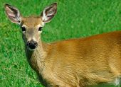 stock photo of bestiality  - Young Deer Looking at Us - JPG