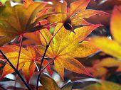 Golden Japanese Maple Leaves