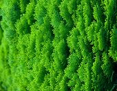 beautiful evergreen conifer abstract