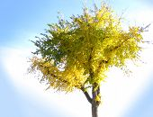 Fall Tree Isolated