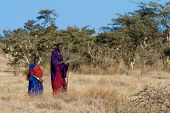 SERENGETI, TANZANIA - JUNE 6: Unidentified Masai Warriors walk in the Africa bush to protect  cattle