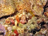 Scorpionfish Head
