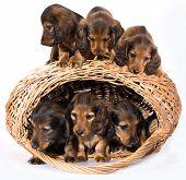 puppies dachshund