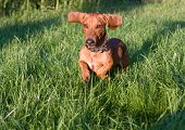 young dog dachshund is running on green lawns