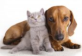 foto of cat-tail  - British kitten  and dog dachshund - JPG