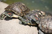 Three turtles on the stone