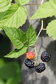 Branch Of A Blackberry