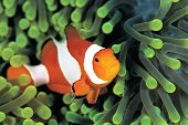 foto of clown fish  - A clown anemonefish in colorful anemone - JPG