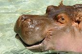 A hippo with a smiling mouth