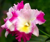 Orchid x Otaara Hwa Yuan Bay 'She Shu'