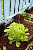 organic Romaine lettuce in a Vegetable Garden