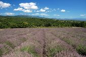 Landscape With Lavender Field In Provence