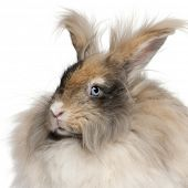 Close-up of English Angora rabbit in front of white background