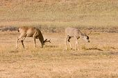 stock photo of blacktail  - pair of California Blacktail bucks grazing in the afternoon - JPG