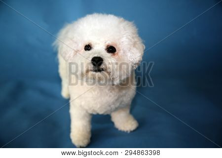 poster of Bichon Frise dog. A small female bichon frise dog portrait on a blue seamless background. Cute Small