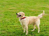 Portrait Of A White Dog Labrador Retriever Looking At His Owner In Summer Park On Sunny Day. Closeup poster