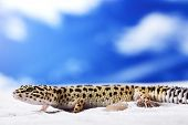 pic of hemidactylus  - Leopard Gecko on sand in natural environment - JPG