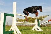 foto of doberman pinscher  - purebred doberman jumping in a training of agility - JPG