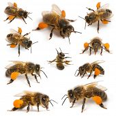 Composition of Western honey bees or European honey bees, Apis mellifera, carrying pollen, in front