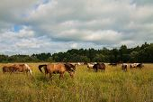 Herd Of Horses Grazing In A Meadow. Horses And Cloudy Sky At Sunset. Horse Riding In The Suburbs. (Л poster