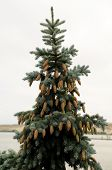Silver fir with cones