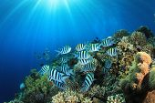 image of sergeant major  - Tropical Fish on Coral Reef in the Red Sea with Sunburst - JPG