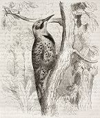 Northern Flicker old illustration (Colaptes auratus). Created by Kretschmer and Jahrmargt, published