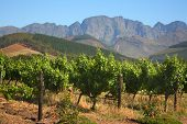 Vineyard, Montague, Route 62, South Africa