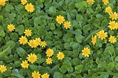 Green Field With Spring Yellow Flowers. Greenish Background With Yellow Flowers. Yellow Flowers Fica poster
