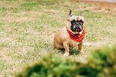 Adorable Purebred French Bulldog In Red Scarf Sitting On Green Grass poster