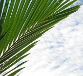 Palm Fronds And White Clouds