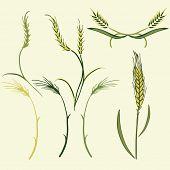 Wheat illustration, vector