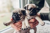 Young Man Holding Pug Dog Puppies In Hands. Little Puppies Siblings. Breeding Dogs poster