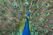 Peacock Show-off
