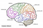stock photo of frontal lobe  - The Human Brain Structure Anatomy Medical Concept - JPG
